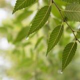 Hojas verdes mojadas del olmo Imagen de archivo