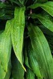 Hojas verdes naturales con las gotitas Imagenes de archivo