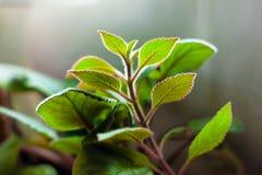 Hojas verdes por la planta, cuidado para las plantas caseras fotos de archivo libres de regalías
