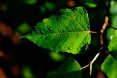 Hojas verdes salvajes con rocío en ellos fotografía de archivo libre de regalías