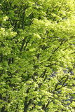 Hojas verdes soleadas del árbol en primavera fotos de archivo libres de regalías