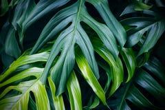 Hojas verdes tropicales, planta del bosque del verano de la naturaleza imagenes de archivo