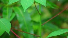 Hojas verdes vegetales de la mandioca que critican cerca para arriba almacen de metraje de vídeo