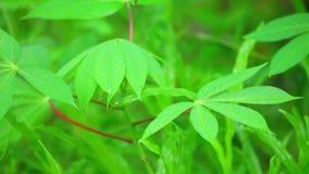 Hojas verdes vibrantes de la planta de la mandioca que critican cerca para arriba almacen de metraje de vídeo