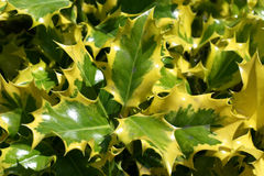 Hojas verdes y amarillas Imagenes de archivo