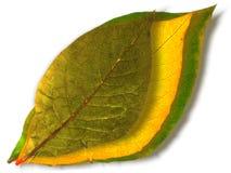 Hojas verdes y amarillas Fotos de archivo libres de regalías