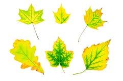 Hojas verdes y amarillas del otoño Foto de archivo