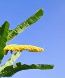 Hojas verdes y amarillas del plátano del color Fotografía de archivo