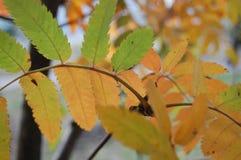 Hojas verdes y amarillas en otoño imagen de archivo