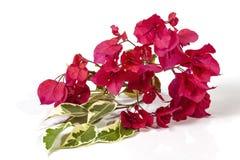 Hojas verdes y blancas de la buganvilla y flores rosadas fotos de archivo