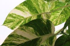 Hojas verdes y blancas de una planta fotos de archivo