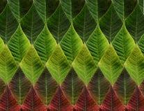 Hojas verdes y del rojo de la poinsetia Imagen de archivo