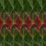 Hojas verdes y del rojo de la poinsetia Imágenes de archivo libres de regalías