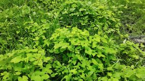 Hojas verdes zielone liście Obrazy Royalty Free