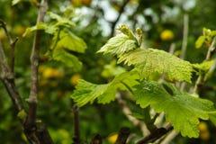 Hojas vernales de la uva en viñedo imagen de archivo