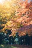 Hojas vibrantes de Autumn Maple del japonés Imagen de archivo libre de regalías