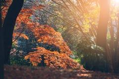 Hojas vibrantes de Autumn Maple del japonés Foto de archivo libre de regalías
