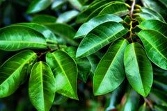 Hojas vibrantes del verde Imagen de archivo libre de regalías
