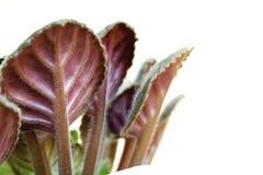 Hojas violetas de debajo en el fondo blanco con el espacio vacío Imagen de archivo