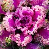 Hojas violetas decorativas de la col Fotos de archivo libres de regalías