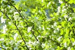 Hojas vivas del árbol del resorte Fotografía de archivo