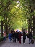 Hojas y árbol del Gingko en distinta vista Pekín admitida, ji fotografía de archivo