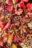 Hojas y bayas coloridas de otoño Fotografía de archivo