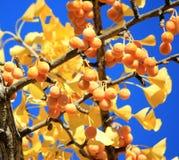 Hojas y bayas de oro del amarillo del árbol del ginkgo de la caída en vagos del cielo azul Imagenes de archivo
