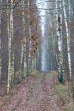 Hojas y callejón marchitados en un bosque del abedul Imagenes de archivo
