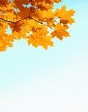 Hojas y copyspase del mapple del otoño Foto de archivo libre de regalías
