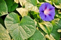 Hojas y correhuela, flor abierta del verde del purpurea del ipomea Imagen de archivo