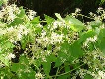 hojas y flores blancas en el seto Imagenes de archivo