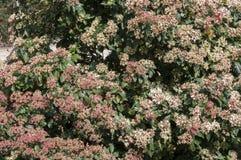 Hojas y flores de Laurustinus, tinus del Viburnum Fotos de archivo libres de regalías