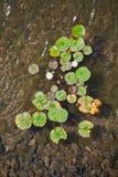 Hojas y flores de los lirios de agua Fotografía de archivo