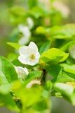 Hojas y flores del verde de los árboles. Resorte Fotos de archivo libres de regalías