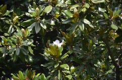 Hojas y flores hermosas de la magnolia en un parque tropical fotografía de archivo