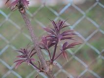 Hojas y flores jovenes de la baya del saúco It& x27; primavera de s imagenes de archivo
