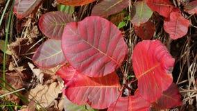 Hojas y follaje otoñales rojos en maleza imagen de archivo