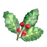 Hojas y fruta del aquifolium europeo del acebo o del Ilex Muérdago de Navidad Fotos de archivo libres de regalías
