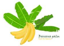 Hojas y frutas tropicales del plátano de la palma de la rama dibujo realista en estilo plano del color Aislado en el fondo blanco Fotos de archivo