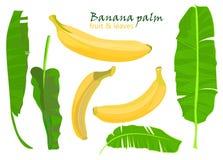 Hojas y frutas tropicales del plátano de la palma de la rama dibujo realista en estilo plano del color Aislado en el fondo blanco Fotografía de archivo