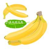 Hojas y frutas tropicales del plátano de la palma de la rama dibujo realista en estilo plano del color Aislado en el fondo blanco Imagenes de archivo