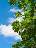 Hojas y nube de la uva Fotografía de archivo libre de regalías