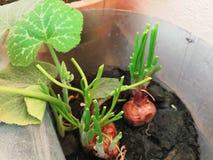 Hojas y planta de la cebolla foto de archivo