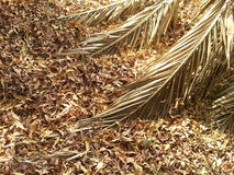 Hojas y rama de árbol muertas del plam Fotografía de archivo