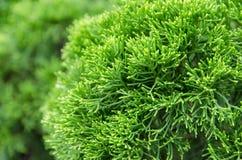 Hojas y rama del verde foto de archivo