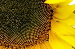 Hojas y semillas del primer del girasol Fotos de archivo