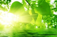 Hojas y sunligt del verde Imagen de archivo libre de regalías