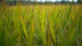 Hojas y troncos de la planta de arroz imagen de archivo