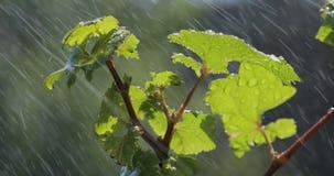Hojee con el descenso del agua de lluvia con el fondo verde almacen de metraje de vídeo